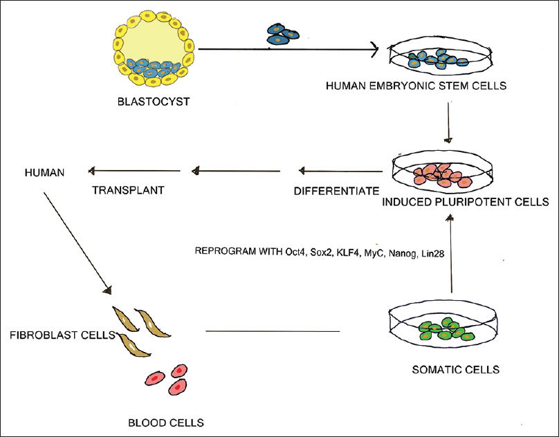 Figure 1: Embryonic stem cells
